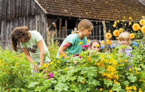Strohblumen pflücken im Gemüsegarten