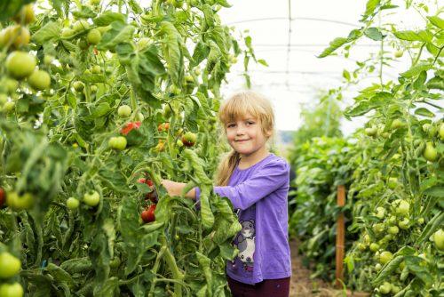 die erste Tomatenernte in Groß Briesen